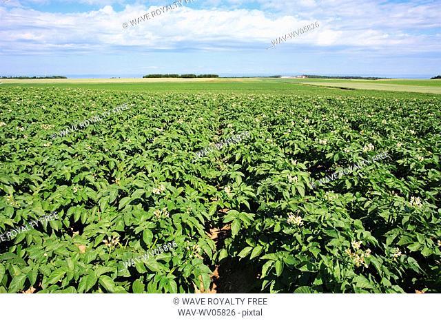 View of potato field, Bas-Saint-Laurent region, Quebec, Canada