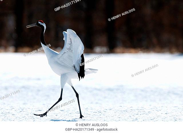 Japanese crane, Red-crowned crane (Grus japonensis), Japan