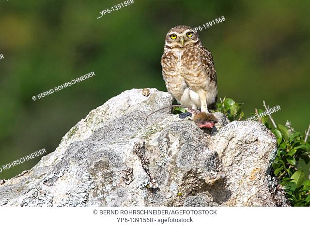 Burrowing Ow, Athene cunicularia, standing on rock with prey, Ilha do Mel, Brazil