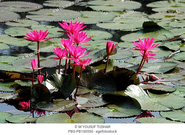 Lotus or water lily is our national flower Dhaka, Bangladesh November 2006