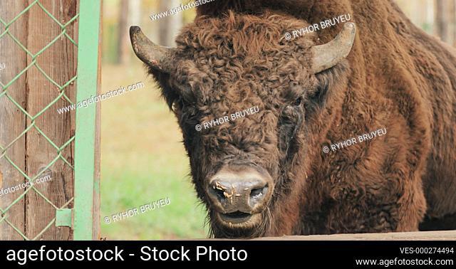 Belarus. European Bison Or Bison Bonasus, Also Known As Wisent Or The European Wood Bison Grazing Near Feeders In Autumn Forest