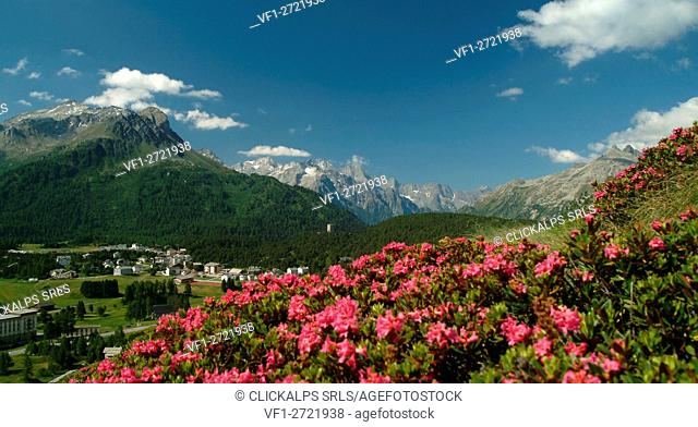 Blooming of Rhododendrons, Maloja Pass. Canton of Graubünden Switzerland, Europe