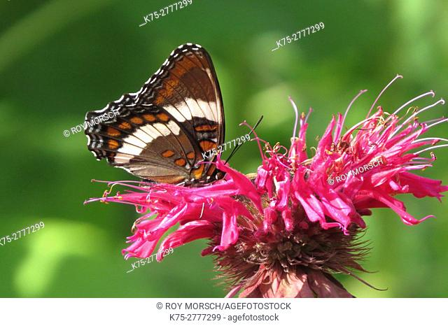 White Admiral Butterfly on bee balm