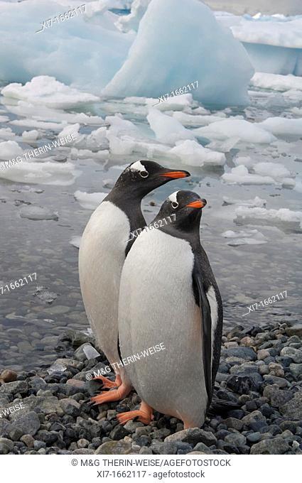 Gentoo Penguins Pygoscelis papua on the beach, Cuverville Island, Antarctic Peninsula
