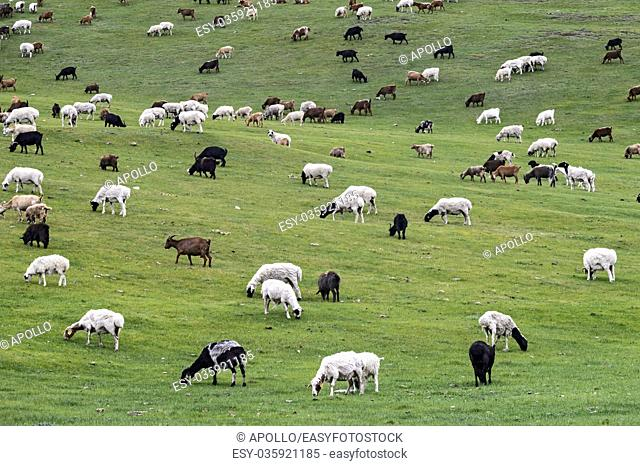 Mixed herd of sheep and Kashmir goats grazing in Orkhon Valley, Khangai Nuruu National Park, Oevoerkhangai Aimag, Mongolia