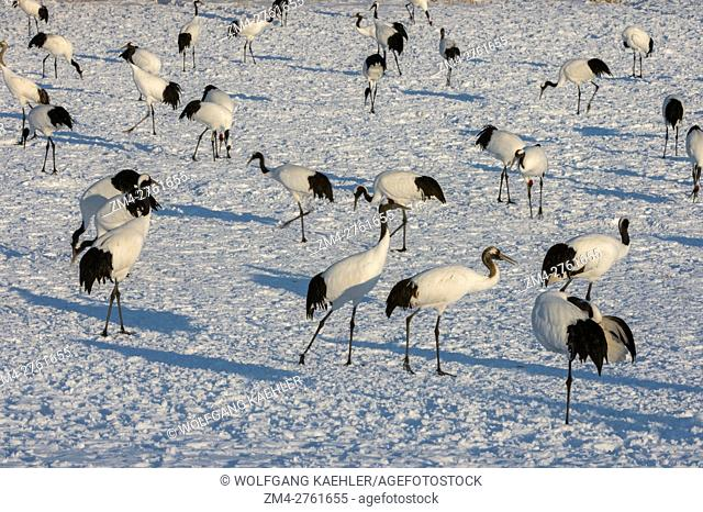 Endangered Japanese cranes (Grus japonensis), also known as the Red-crowned cranes which are one of the rarest cranes in the world