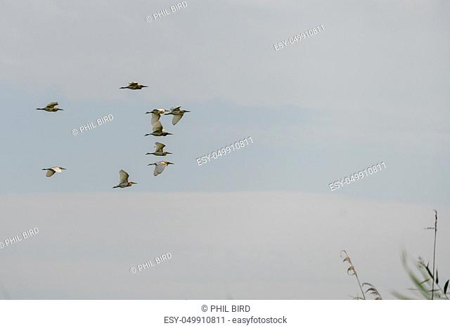 Great White Pelicans (pelecanus onocrotalus) flying over the Danube Delta