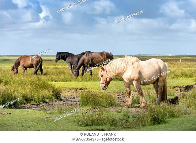 Germany, Lower Saxony, East Frisia, Juist, horse pasture on mudflat side of the island