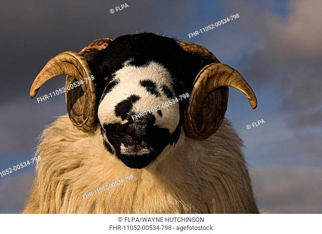 Domestic Sheep, Rough Fell, ram, close-up of head, ready for autumn sales, Sedbergh, Cumbria, England