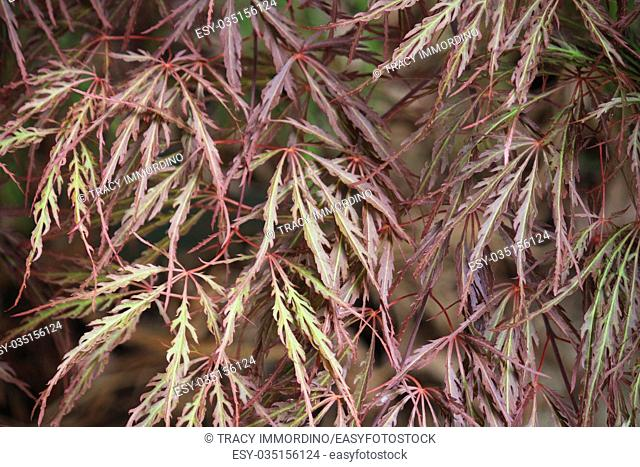 Close up of the red and green leaves of a Queen Crimson Japanese Maple tree