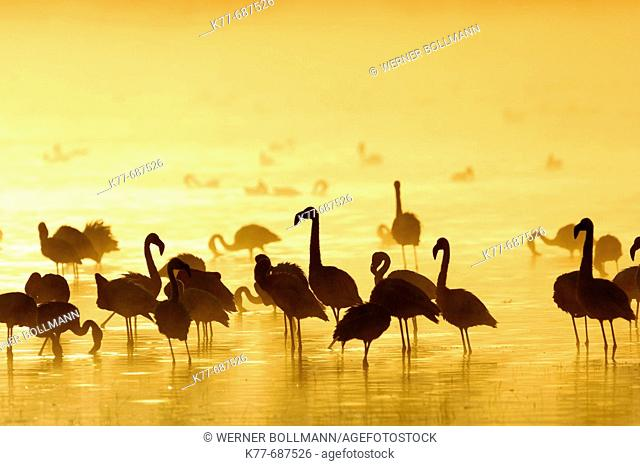 Lesser Flamingos (Phoenicopterus minor) at sunrise. Lake Nakuru, Kenya