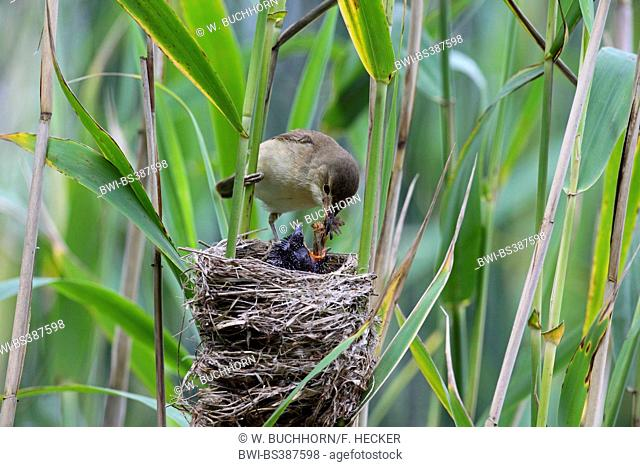 Eurasian cuckoo (Cuculus canorus), chick in the nest of a reed warbler, reed warbler feeding the cuckoo chick, Germany