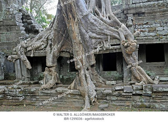 Thitpok or Tetrameles (Tetrameles nudiflora), tree with its roots growing in the ruins of the Prasat Preah Khan temple complex, UNESCO World Heritage Site