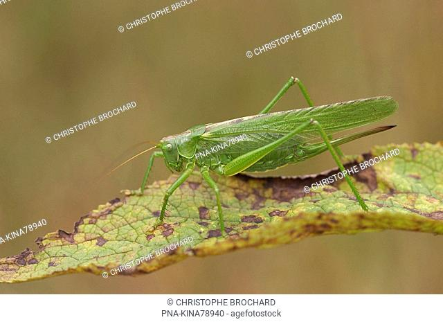 Great Green Bush-cricket Tettigonia viridissima - Vorden, Achterhoek, Guelders, The Netherlands, Holland, Europe