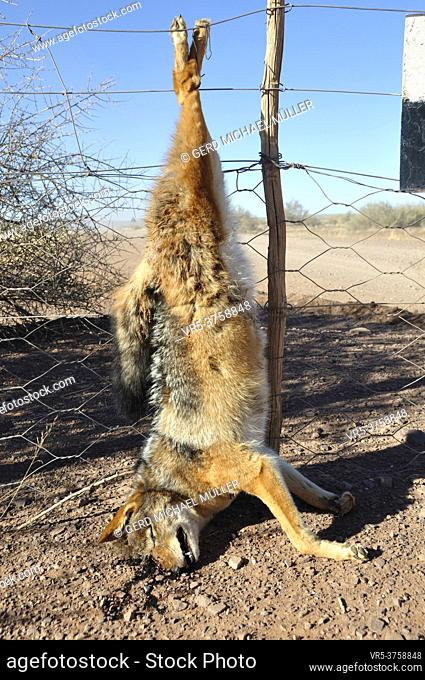 A killed jackal has been hanging up the fence of a farmer as a warning for the others