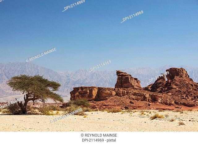 An acacia tree and arid landscape, timna park arabah israel