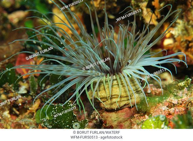 Tube Anemone, Cerianthus membranaceus, Susac Island, Adriatic Sea, Croatia