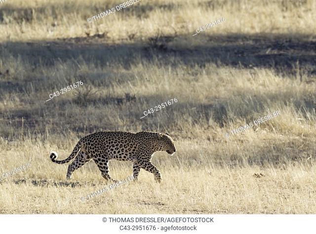 Leopard (Panthera pardus). Roaming male. Kalahari Desert, Kgalagadi Transfrontier Park, South Africa