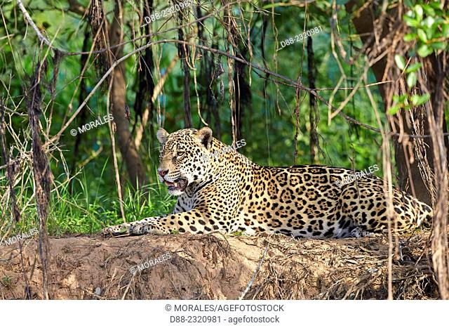 South America,Brazil,Mato Grosso,Pantanal area,jaguar (Panthera onca),relaxing on the edge of a river