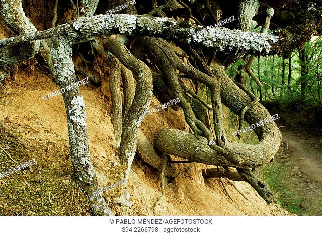 Roots in a trail from Bustarviejo to Canencia mountain pass, Madrid, Spain