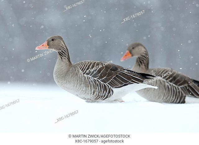Greyleg Goose Anser anser during winter, snowfall and in deep snow, Germany The Greylag Goose is originally a migratory bird