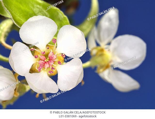 Flores de peral (Pyrus communis)