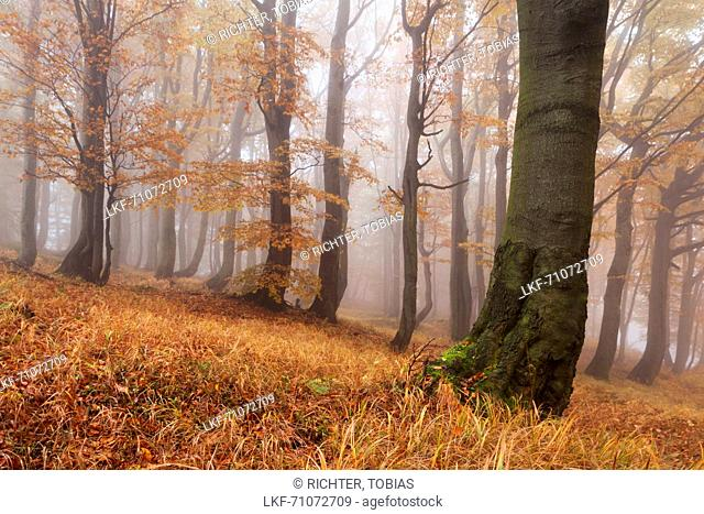 Primeval beech forest in autumn with grass in the foreground, Ore Mountains, Ustecky kraj, Czech Republic