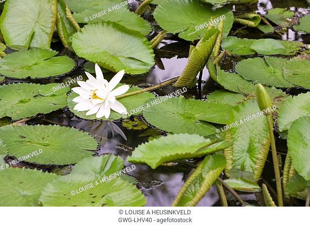 WHITE WATER LILY NYMPHAEA LOTUS AFTER POLLINATION