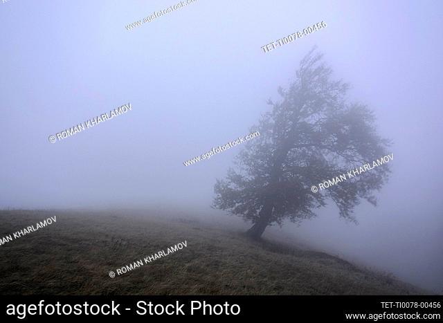 Ukraine, Zakarpattia region, Carpathians, Borzhava, Hillside mountain Munchel, Lonely tree in morning mist