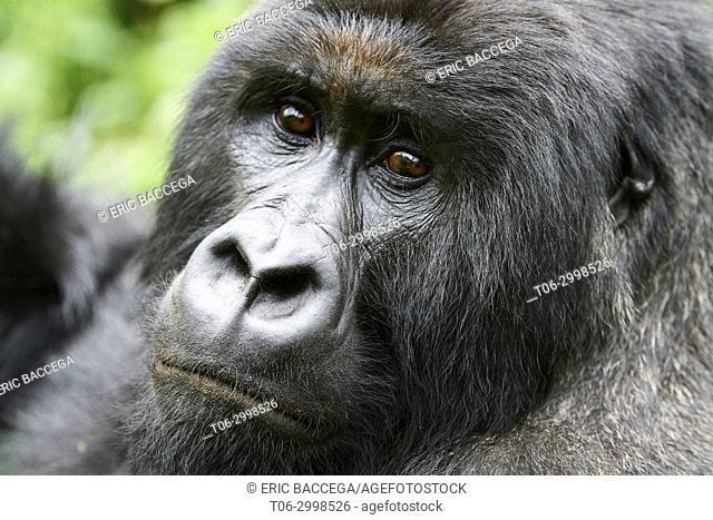 Head portrait of Silverback Mountain gorilla (Gorilla beringei beringei) member of Kabirizi group. Virunga National Park, North Kivu