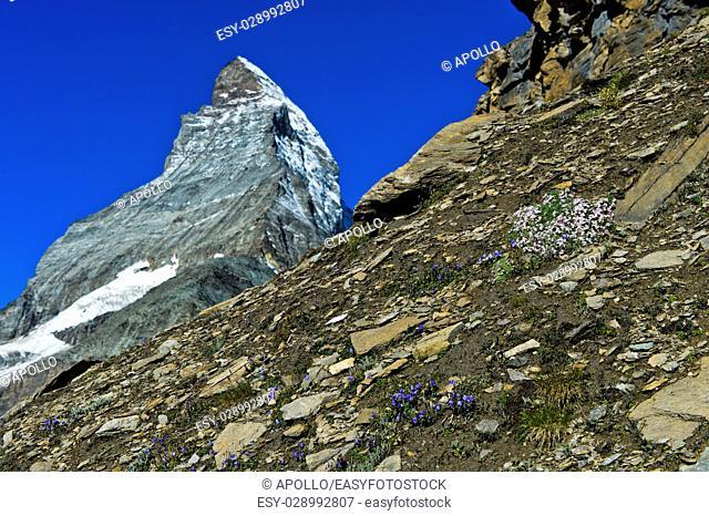 Bellflowers and Saxifraga flowers in front of the Matterhorn peak, Zermatt, Valais, Switzerland