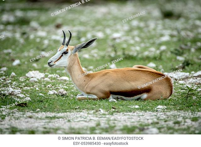 Springbok laying in the grass in the Etosha National Park, Namibia