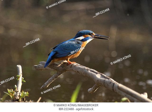 European Kingfisher Common Kingfisher (Alcedo atthis)
