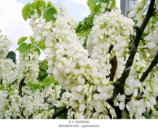 judas tree (Cercis siliquastrum 'Alba', Cercis siliquastrum Alba), blooming