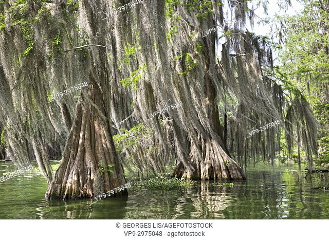 cypres and spanish moss in Martin Lake near Breaux bridge