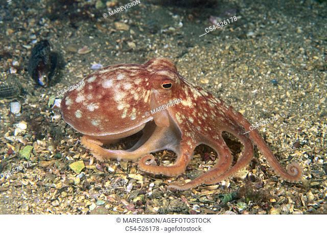 Horned Octopus (Eledone cirrhosa). Galicia, Spain