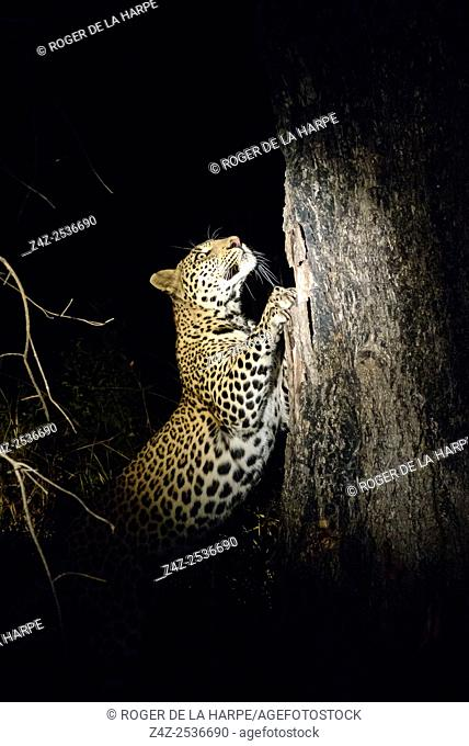 Leopard (Panthera pardus) sharpening its claws on a tree. Kruger National Park. Mpumalanga. South Africa