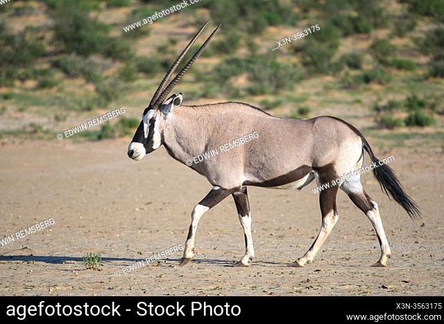 Gemsbok (Oryx gazella) in Kgalagadi, South Africa