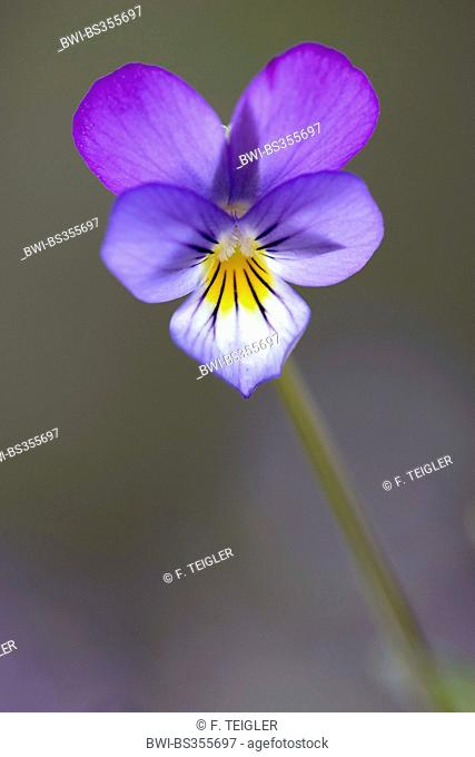 heart's ease, heartsease, wild pansy, three colored violet (Viola tricolor), flower, Germany