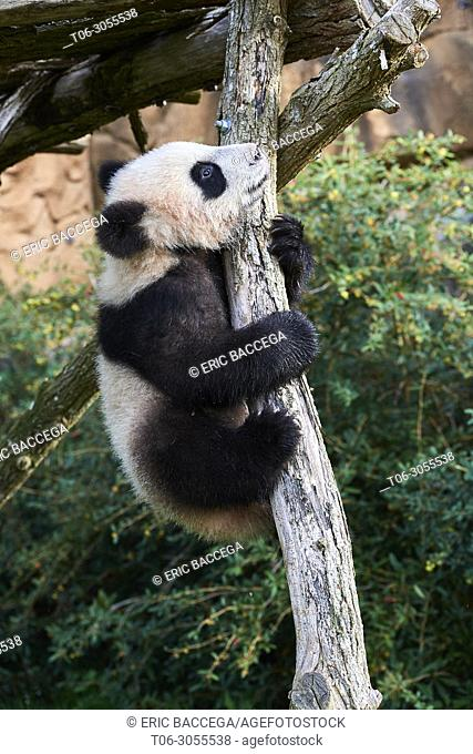 Giant Panda cub (Ailuropoda melanoleuca) climbing. Yuan Meng, first giant panda even born in France, is now 8 months old and likes very much to stay in trees
