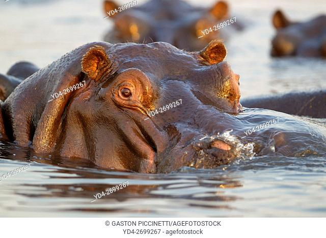 Hippopotamus (Hippopotamus amphibius), in the river, Chobe National Park, Botswana