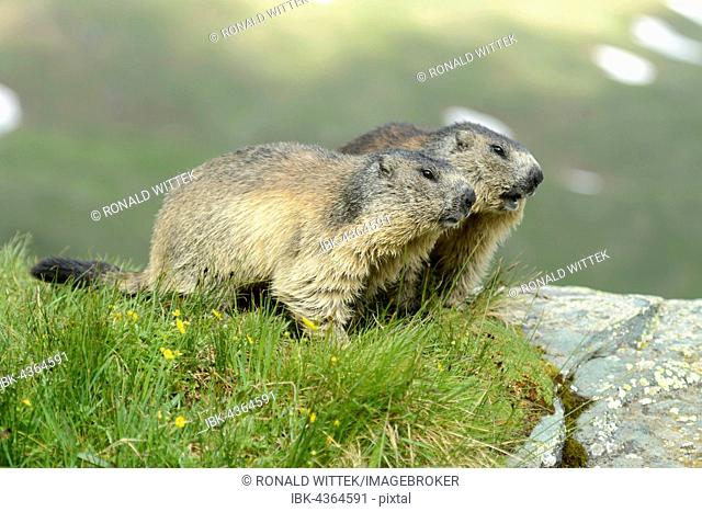 Two alpine marmots (Marmota Marmota), High Tauern National Park, Austria