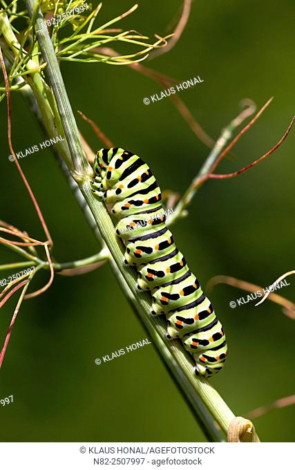 The beautiful rare caterpillar of a Swallowtail Papilio machaon on dill Anethum graveolens in a rural garden - Central Franconia, Bavaria/Germany