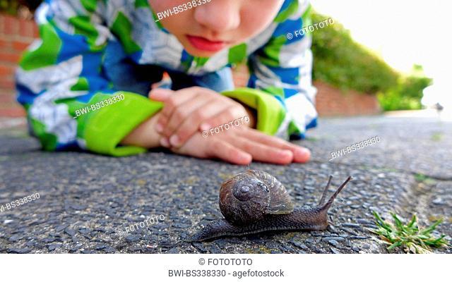 brown garden snail, brown gardensnail, common garden snail, European brown snail (Helix aspersa, Cornu aspersum, Cryptomphalus aspersus)