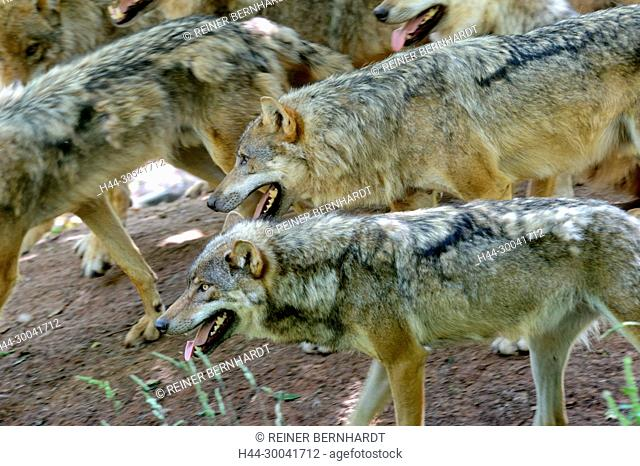 Canine, Canis lupus, endemic animal species, European wolf, protected animal species, grey wolf, grey wolf, doggy, Isegrimm, predator, predators, animal
