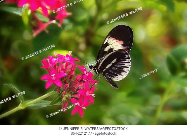 Piano Key Butterfly, also known as a Postman Butterfly. Native to tropical Americas. Heliconius melpomene