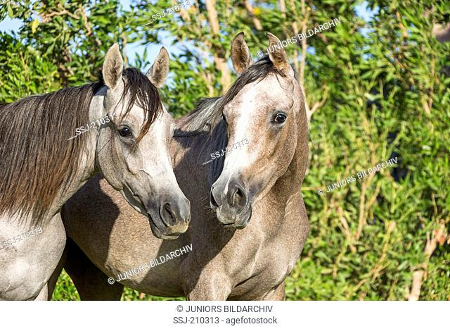 Arabian Horse. Two young mares standing next to each other, portrait. Egypt
