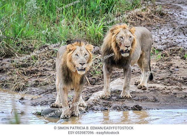 Two big male Lions at the water in the Kruger National Park, South Africa