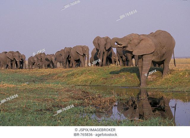 Herd of African Bush or Savanna Elephants (Loxodonta africana) at a waterhole