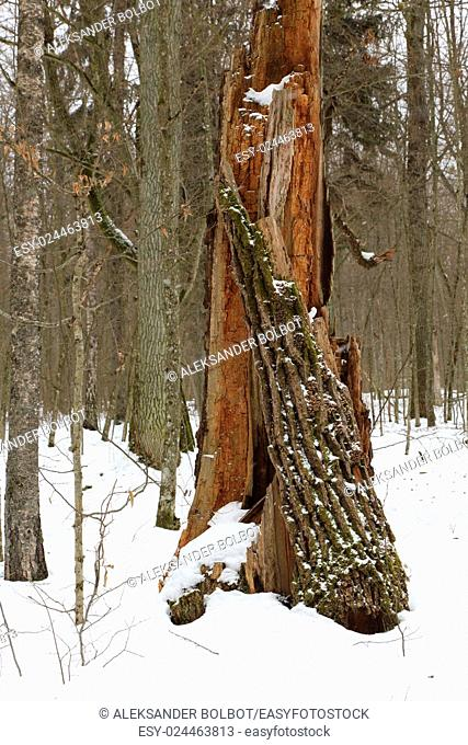 Broken old oak stump in winter stand of Bialowieza Forest, Poland, Europe